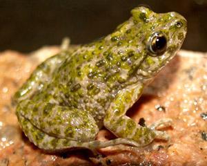"""No se puede mostrar la imagen """"http://www.vertebradosibericos.org/anfibios/pelibe.jpg"""" porque contiene errores."""